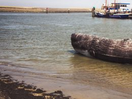 380 Pilot Whales Die After Getting Marooned In a Coastal Town in Australia