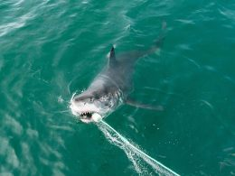 Huge White Shark Weighing Almost 1,000kg Spotted in Miami, Florida
