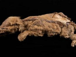 Canadian Goldminer Discovers 57,000-Year-Old Wolf Preserved in Permafrost