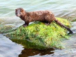 Fears of Mutated COVID-19 Strain Increases in Oregon as Wild Mink Tests Positive